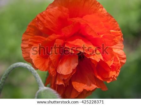 Beautiful Single Red Poppy Flower Head in a Green Field - stock photo