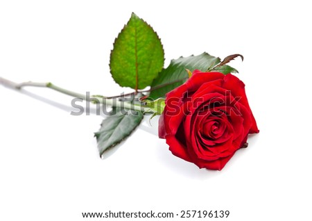 beautiful single red rose lying down on a white background - stock photo