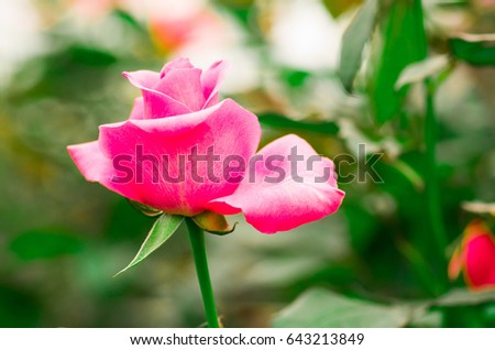 Beautiful Single Rose Flower In A Greenhouse Ecuador