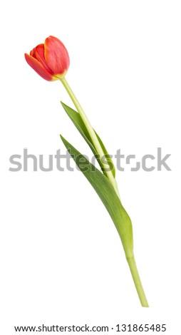 beautiful single tulip, isolated on white background - stock photo