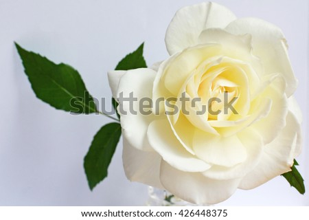 Beautiful single white rose flower with copy space, place for text, close up, empty greetings card - stock photo