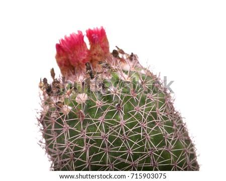 Beautiful small cactus pink flowers flowering stock photo 715902400 beautiful small cactus with pink flowers flowering cactus macro mamillaria isolated on mightylinksfo Images