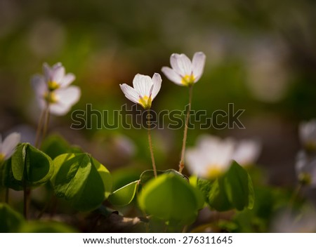 Beautiful small flowers of wood sorrel blooming in early springtime in forests. - stock photo