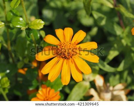 beautiful small orange daisy pollen close up. - stock photo