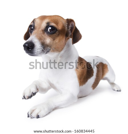 Beautiful small white dog crawls on his stomach looking into the camera and smiles apologetically. Studio shot. white background - stock photo