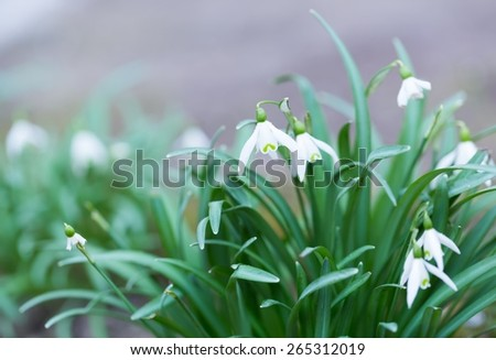 Beautiful small white snowdrops flowers. First springtime flowers blooming. - stock photo