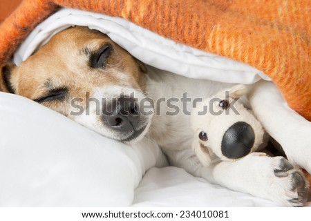 Beautiful smiling pleased little dog is sleeping in an embrace with a toy dog - stock photo