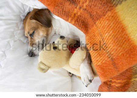 Beautiful smiling pleased little dog is sleeping in an embrace with a toy Teddy bear - stock photo