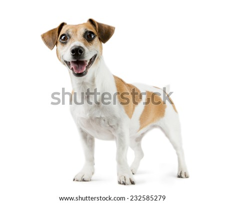 Beautiful smiling young dog Jack Russell terrier full-length. White background - stock photo