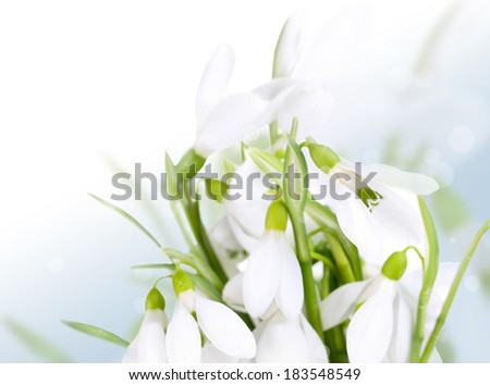 Beautiful snowdrops on bright background