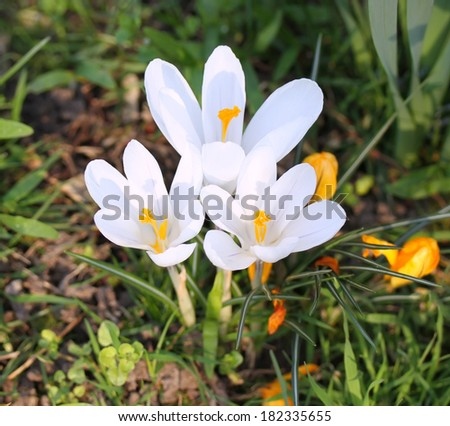 Beautiful Snowdrops Spring Flowers  - stock photo