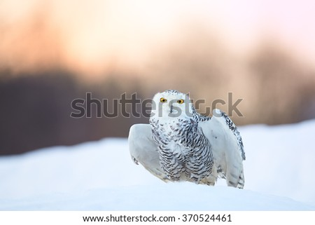 Beautiful Snowy owl Bubo scandiacus, famous white owl with black spots and bright yellow eyes,sitting on snow and preparing for take off, partly outstretched wings, staring directly at camera.Morning. - stock photo