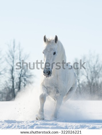 Beautiful snowy white horse running in snow field - stock photo