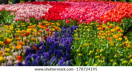 Beautiful soft focus vibrant white and red tulips and hyacinth at Keukenhof Netherlands