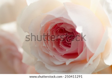 Beautiful soft pink rose, English rose, Wedgwood rose, macro. - stock photo