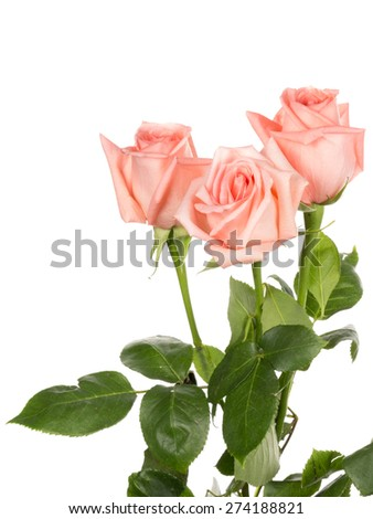 beautiful soft pink rose with green leaves in a bouquet on a white background