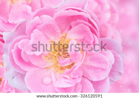 Beautiful soft rose Flowers background.Spring blossom background with pink rose flowers.