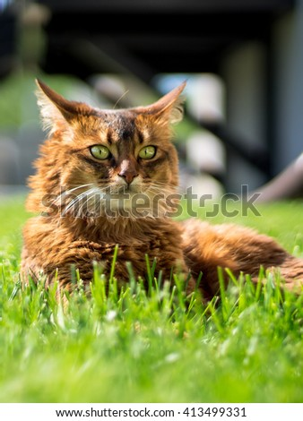 Beautiful somali cat lying on the grass, looking in the distance. - stock photo