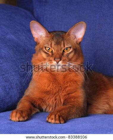 Beautiful somali cat portrait lying of blue sofa - stock photo