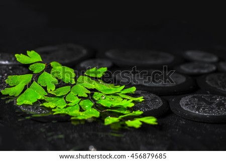 beautiful spa background of green twig Adiantum fern on zen basalt stones with drops, closeup - stock photo