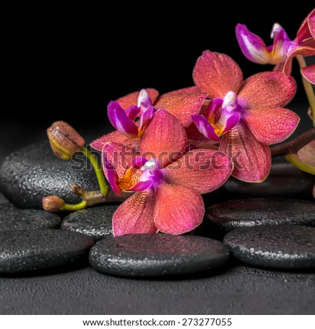beautiful spa composition of blooming twig red orchid flower, phalaenopsis with water dew on zen basalt stones, closeup - stock photo