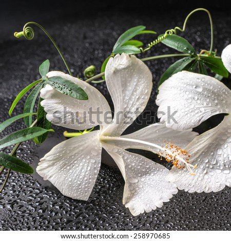 Beautiful spa concept of blooming delicate white hibiscus, green twig with tendril passionflower with drops on black background, closeup - stock photo