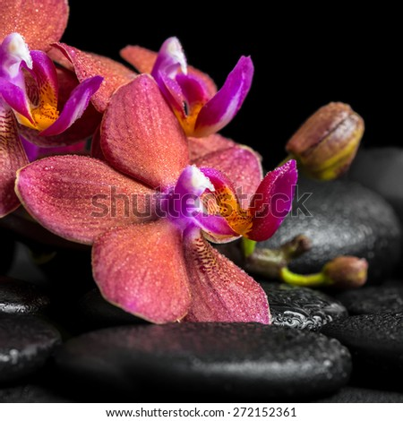 beautiful spa concept of blooming twig red orchid flower, phalaenopsis with dew on zen basalt stones, closeup - stock photo