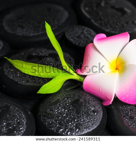 beautiful spa concept of green branch bamboo, plumeria flower with drops on zen basalt stones, closeup - stock photo