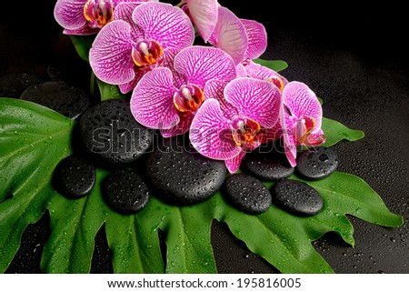 Beautiful spa concept of zen stones with drops, blooming twig of stripped violet orchid (phalaenopsis ) on the big green leaf - stock photo