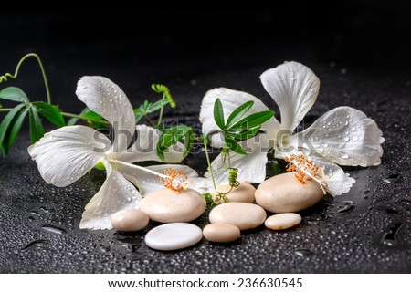 Beautiful spa still life of delicate white hibiscus, twig passionflower, stones with drops on black background - stock photo