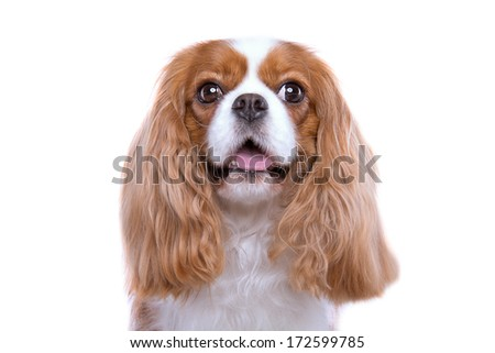 Beautiful spaniel dog. Animal portrait. Stylish photo. White background. Colorful decorations. Collection of funny animals