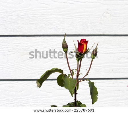 Beautiful  spicy fragranced orange and red  hybrid tea  rose blooming in spring is stunning against a pale grey wall. - stock photo