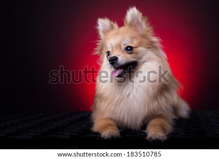 Beautiful spitz dog. Animal portrait. Stylish photo. Red background. Collection of funny animals