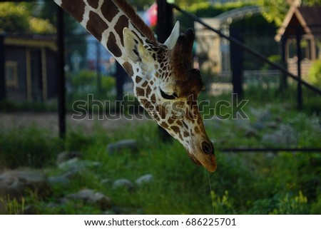 Beautiful spotted giraffe in the summer zoo