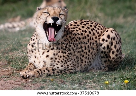 Beautiful spotted wild cheetah cat yawning with pink tongue showing - stock photo