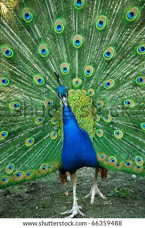 Beautiful spread of a peacock - stock photo