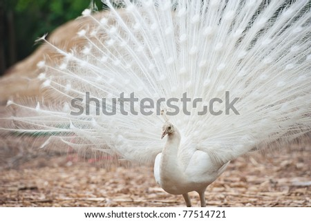 Beautiful spread of a white peacock - stock photo