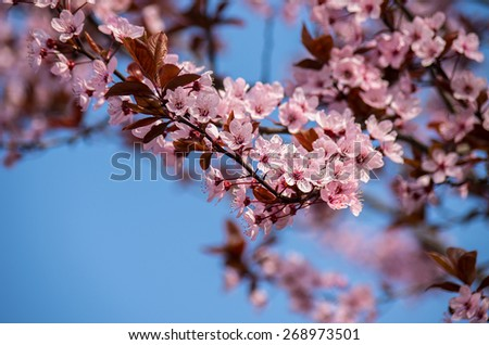 Beautiful sprig of cherry  blossom flower, with Blue Sky Background . Soft focus. - stock photo