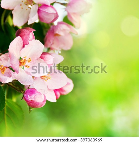 Beautiful  spring apple-tree flowers background with copy space. Soft focus.
