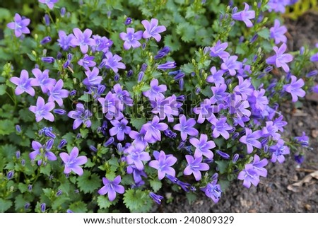 Beautiful spring background with campanula flowers.  - stock photo