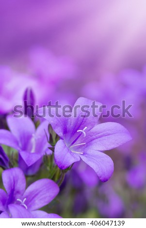 Beautiful spring background with campanula flowers