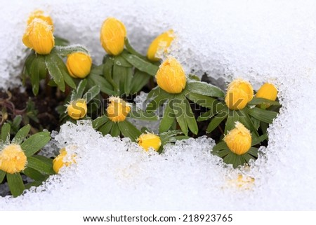 Beautiful spring background with first Aconite in snow - stock photo