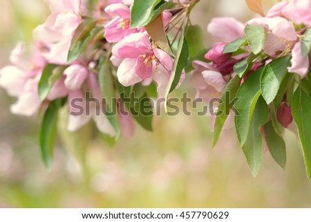 Beautiful spring blooming tree, gentle flowers, fresh cherry blossom border on green soft focus background, spring time nature. - stock photo