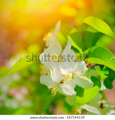 Beautiful spring blossoming apple tree  - stock photo
