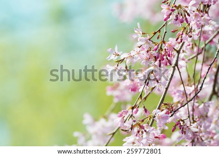 Beautiful spring cherry blossom with flower buds, early spring soft pastel green background. Shallow depth of field. - stock photo