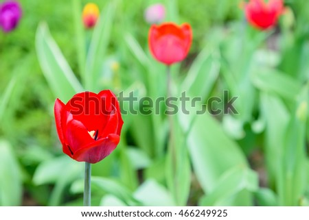 Beautiful spring colorful flower tulips background