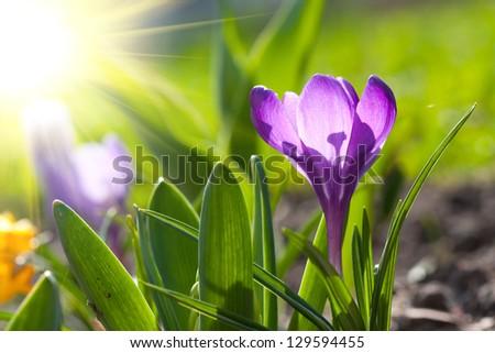 beautiful spring crocus and sun - stock photo