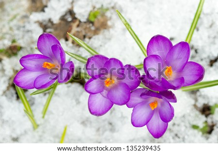 Beautiful spring crocuses in the snow - stock photo