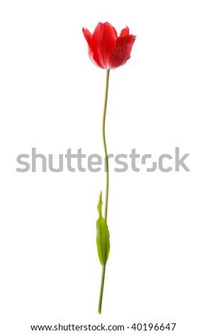 beautiful spring flower - stock photo