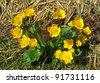 Beautiful spring flower Caltha palustris – Kingcup or Marsh Marigold. - stock photo